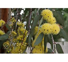 Fluffy yellow flowering gum Photographic Print
