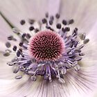 Dreamy white anemone by mightymite