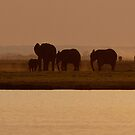 Elephants, sunset on Chobe by Yves Roumazeilles
