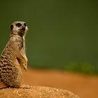 Meerkat by Karl Thompson