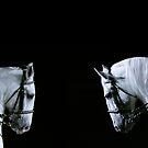 Lipizzaner Stallions by chrstnes73
