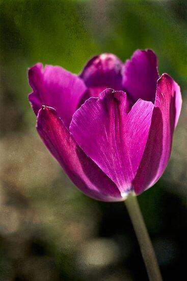 Early tulip by Celeste Mookherjee