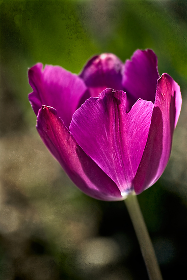 Early tulip by Celeste Mookherjee