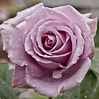 Old school rose in lilac  by mightymite