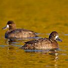 Sunset scaup by Daniel  Parent