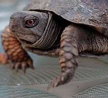 Edward, the lil Box Turtle by Wviolet28