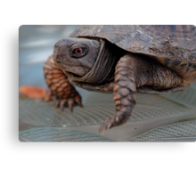 Edward, the lil Box Turtle Canvas Print