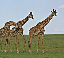 Giraffe Family by Jill Fisher