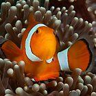 False Clown Anemonefish, Kapalai, Sabah, Malaysia by Erik Schlogl