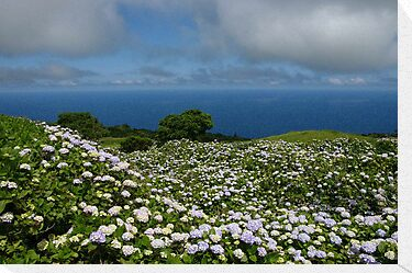 Hydrangeas in Horta, Azores by benjy