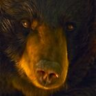 Black bear by Mundy Hackett