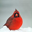 Winter cardinal by Mundy Hackett