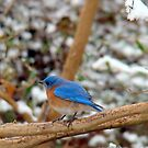 Bluebird in Snow by BLemley