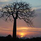 ''Queensland Bottle Tree'' by bowenite