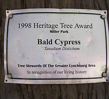 Bald Cypress 7 by dge357