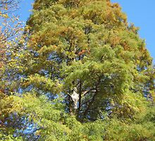 Bald Cypress 12 by dge357