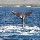 Extended Fluke Up Dive - Humpback Whale by Katie Grove-Velasquez