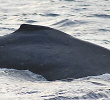 Dorsal Fin - Humpback Whale by Katie Grove-Velasquez