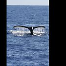 Humpback Whale Fluke Up Dive by Katie Grove-Velasquez