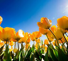 Sunnyside Up (tulips) by Mel Sinclair