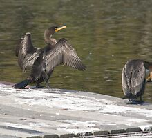 Double-Crested Cormorants by KAREN SCHMIDT