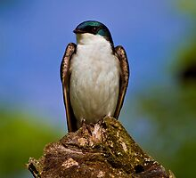 Tree Swallow by John Absher