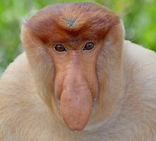 Proboscis Monkey - Nasalis larvatus by Andrew Trevor-Jones