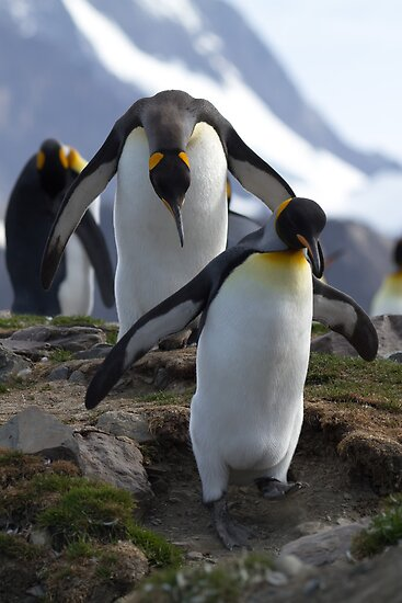 King Penguins, St Andrews Bay, South Georgia by Coreena Vieth