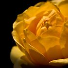 Yellow Rose on a Black Background by Joanne Rawson