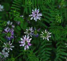 Crown Vetch, Securigera varia by LynnRoebuck