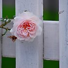 Rose on a white picket fence by deb cole