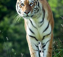 The Stance Of A Tiger by Robert Taylor