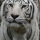 White tiger stare by eangelina64