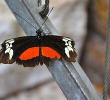 Doris Longwing (Heliconius Doris) by Poete100