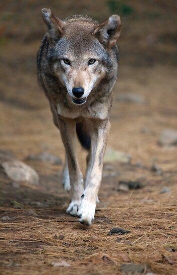 Red Wolf Strut by Karol Livote