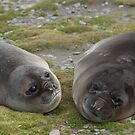 Juvenile Elephant Seals, Fortuna Bay, South Georgia by Coreena Vieth