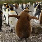 King Penguin chick, Salisbury Plains, South Georgia by Coreena Vieth