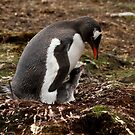 Gentoo Penguin &amp; chick, Godthul, South Georgia by Coreena Vieth