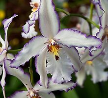 White and Purple Orchid by richchop
