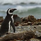 Magellanic Penguin, Otway Sound, Patagonia, Chile by Coreena Vieth