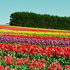 Tulip Fields II by Mel Sinclair