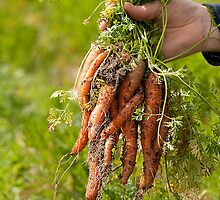 Picking Carrots by Julia Ott