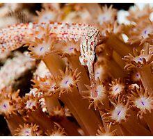Orange Spotted Pipefish Photographic Print