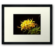Rhododendron luteum-sweet  Framed Print