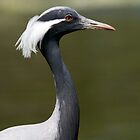 Demoiselle Crane by Robert Taylor