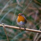 Robin by Robert Taylor