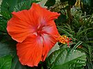 Red Hibiscus Flower by MotherNature