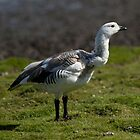 Upland Goose (Male), Carcass Island, Falkland Islands by Coreena Vieth