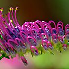 Grevillea acanthifolia by Renee Hubbard Fine Art Photography
