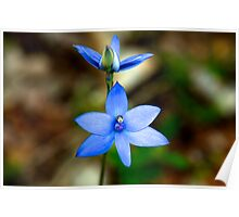 The Blue Lady Orchid (Thelymitra crinita) #3. Poster